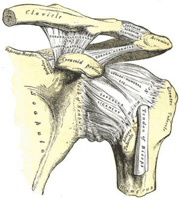 Human Shoulder, Taken from Gray's Anatomy